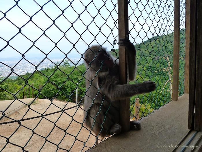 P1010291 - Palacio, Castillo y macacos en Kyoto