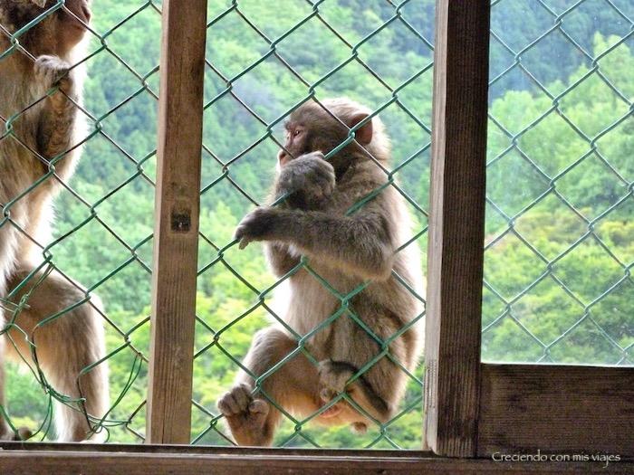 P1010294 - Palacio, Castillo y macacos en Kyoto
