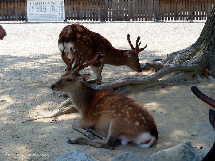 P1010333 - Vamos a conocer los ciervos de Nara
