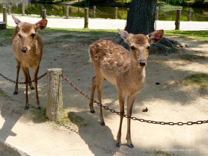 P1010374 - Vamos a conocer los ciervos de Nara