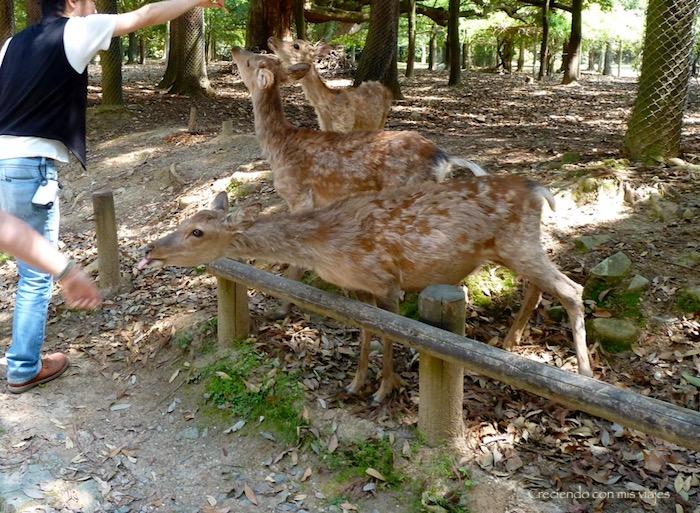 P1010511 - Vamos a conocer los ciervos de Nara